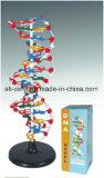 Estructura de la DNA Xy-3212 (el modelo de la célula)