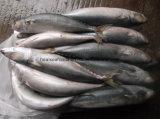 De bevroren Makreel van /Pacific van de Makreel van de Kopvoorn