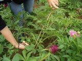 Chinois herbacé frais de pivoine de fleur coupée