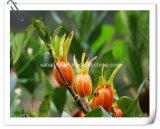 Poeder van het Uittreksel van het Fruit van de Jasmijn van de Kaap van de fabriek het Natuurlijke