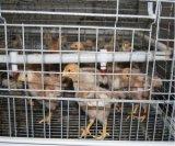 Il pollame automatico del pollo mette in gabbia per la pollastra ed il piccolo pollo (un tipo blocco per grafici)