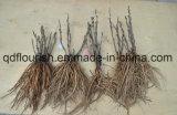 일본 나무 작약 루트, 작약 묘종