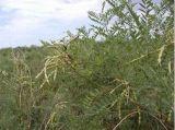 Estrazione della pianta per l'antiparassitario organico