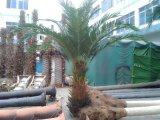 인공적인 멕시코 대추 야자 나무 6 미터