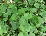 Stephania Japonica 추출 또는 Cepharanthine