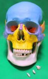Anatomische Modellen, x-y-9g het Been van de Scheiding van de Kleur van 3 Deel (3 verwijderbare tanden)