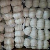 중국 수출상에서 신선한 백색 마늘 공급자