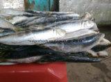 100-150g licht die de Bevroren Sardine van het Aas vangen