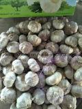 상자와 부대에 있는 Garlics
