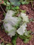 Bester Preis für flaumigen Mehltau der Gurke, Mancozeb+Cymoxanil Fungizid