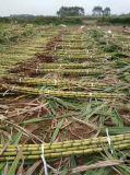 Unigrowの生物有機肥料が付いているサトウキビの高く満足な砂糖
