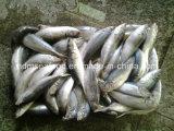 Vollständige runde gefrorene Rossmakrele-Fische