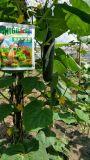 Condicionador do solo de Unigrow na plantação branca do Gourd, da beringela e do pepino