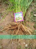 Unigrow кондиционера почвы на здоровье органических сева риса