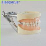 Articulator fixo do Dp do parafuso macio padrão da goma dos dentes do modelo 28PCS do dente