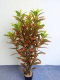 Alta calidad del Croton artificial de las plantas con la altura de el 120cm Gu911093714