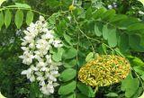 Extrato de Japonica do Sophora da quercetina 98% (CAS 117-39-5)