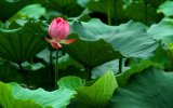 음식 보충교재를 위한 Flavonoid Nuciferine 로터스 잎 추출