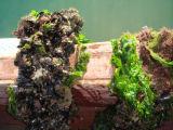 ムラサキ貝
