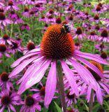 4 : 1 Echinacea purpurea Extract