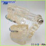 De bride à moitié en céramique modèle Typodont de support en métal d'orthodonties de dents dentaires de Typodont demi avec le fil de voûte