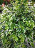 Plantas y flores artificiales del árbol Gu-Mx-Wt-Ficus-250cm del Ficus
