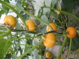 Gérmenes de calabaza blancos de la nueva cosecha