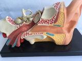 Orecchio d'istruzione medico modello anatomico di dimostrazione (R070103)