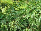 Extracto de folha de oliva / HPLC oleuropeína para alimentos e suplementos
