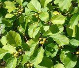 高品質の東洋毒草のエキス、CelastrusのOrbiculatusのエキス