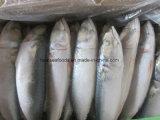 Le Maquereau bleu chinois pour vendre du poisson frais