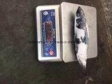 Gefrorene Blaufisch-Fische 750g +