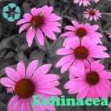 Extrait d'échinacée / Echinacea Purpurea Extract / Polyphenols / Chicoric Acid