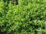 OEM-трав извлечения дополнительного сырья Stevia порошок Ra 80%, 90%, 95%, 97%, 98%, 99%