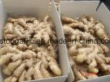 Air-Dry de gingembre frais à l'Europe