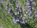Rosmarinus officinalis extraer un 20% de ácido Rosmarinic