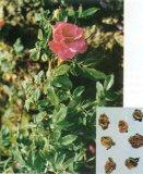 Estratto naturale del fiore di 100% Rosa, estratto della Rosa, tè del fiore della Rosa