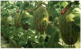Unigrow fertilizante orgânico microbiana em Hemi Melão Plantação