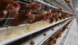 Gaiola ou exploração avícola da galinha da camada (ovo)