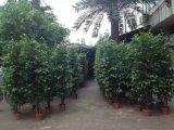 Migliori piante artificiali di vendita dell'albero del Ficus
