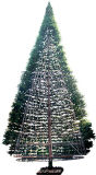 A Evergreen Tree