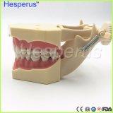 Modelo suave dental de los dientes de la goma con Tougne Typodont con 32 dientes movibles Nissin 200 Hesperuscompatible