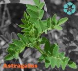 Extrait d'astragale/astragale Membranaceus (Fisch.) Bge. /Polysaccharides