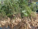 Nueva cosecha para exportar el núcleo rojo del cacahuete de la piel