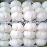 Aglio bianco puro, vendite calde aglio bianco puro della Cina/del cinese