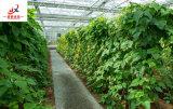 Invernadero de la clase de Venlo para el crecimiento de los productos agrícolas