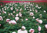 Fond de pivoine de couleur blanche/plante herbacés de pivoine