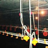 Équipement de la volaille d'élevage de poulets en élevage de volailles
