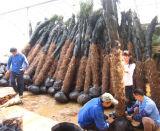 Palme di Trachycarpus Fortunei