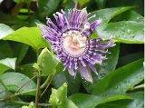 Extrait de fleur de passion de 100% de haute qualité